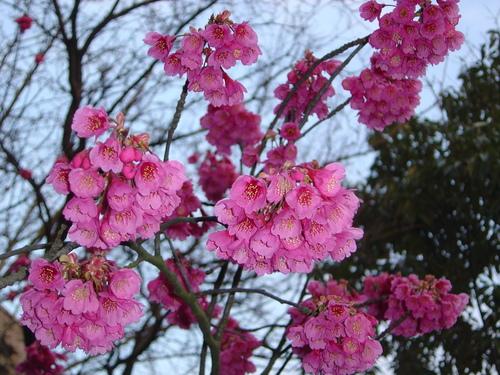 寒緋桜(かんひざくら)